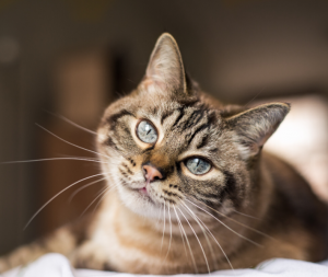 5 Causes of Diabetes in Cats
